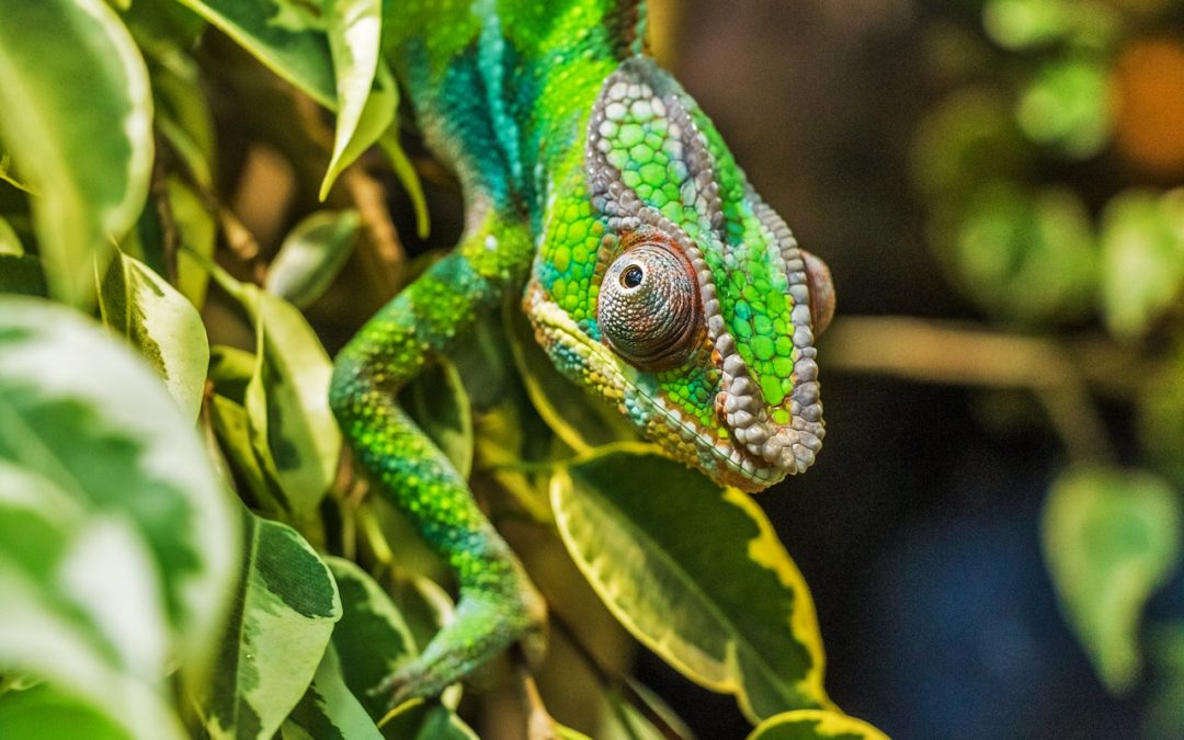 Les caméléons à Madagascar