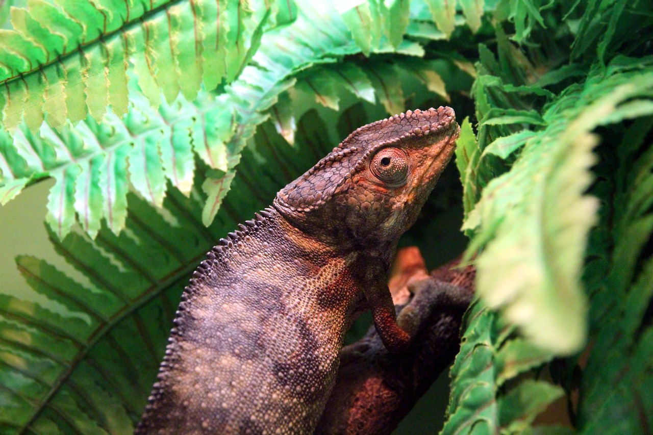 panterovy-chameleon-furcifer