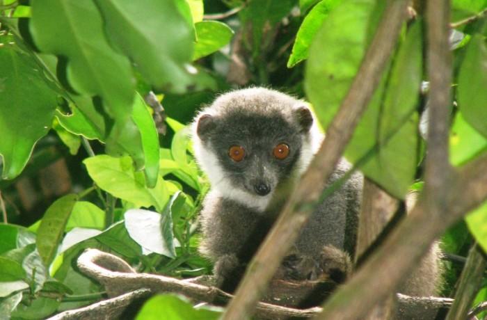 Lemur Mongos