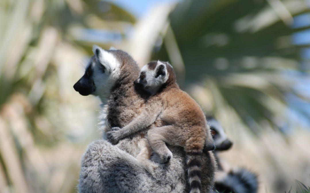 Les Lémuriens à Madagascar