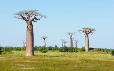 Madagascar et les baobabs