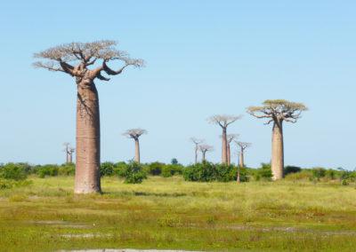 Morondava - Baobabs