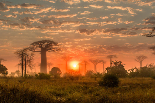 Morondava - Les baobabs au petit matin