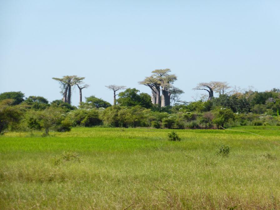 Morondava - Les premiers baobabs
