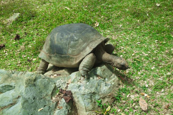 Une tortue à Nosy Komba
