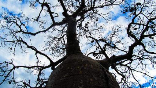 Mangily - Baobabs