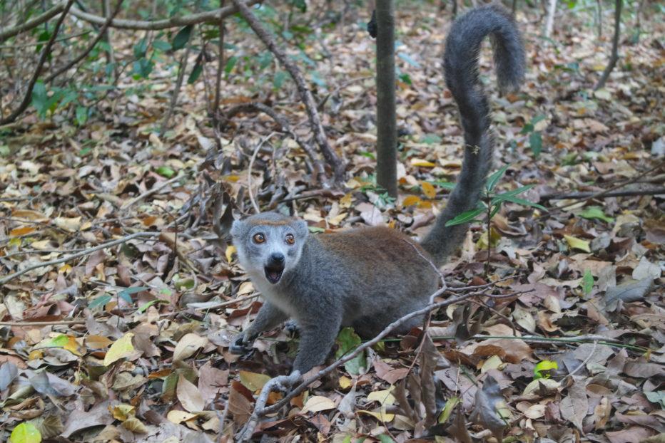 Un lémurien au Parc de l'Ankarana