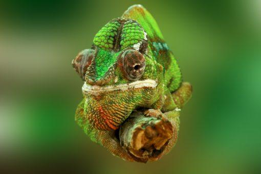 Caméléon à Madagascar