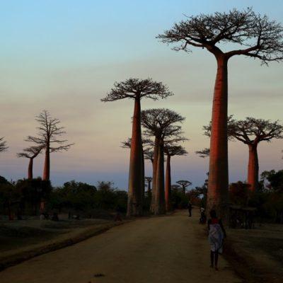 Morondava - allée des baobabas