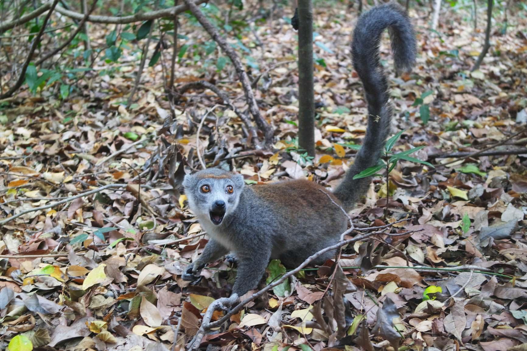 lemurien par ankarana