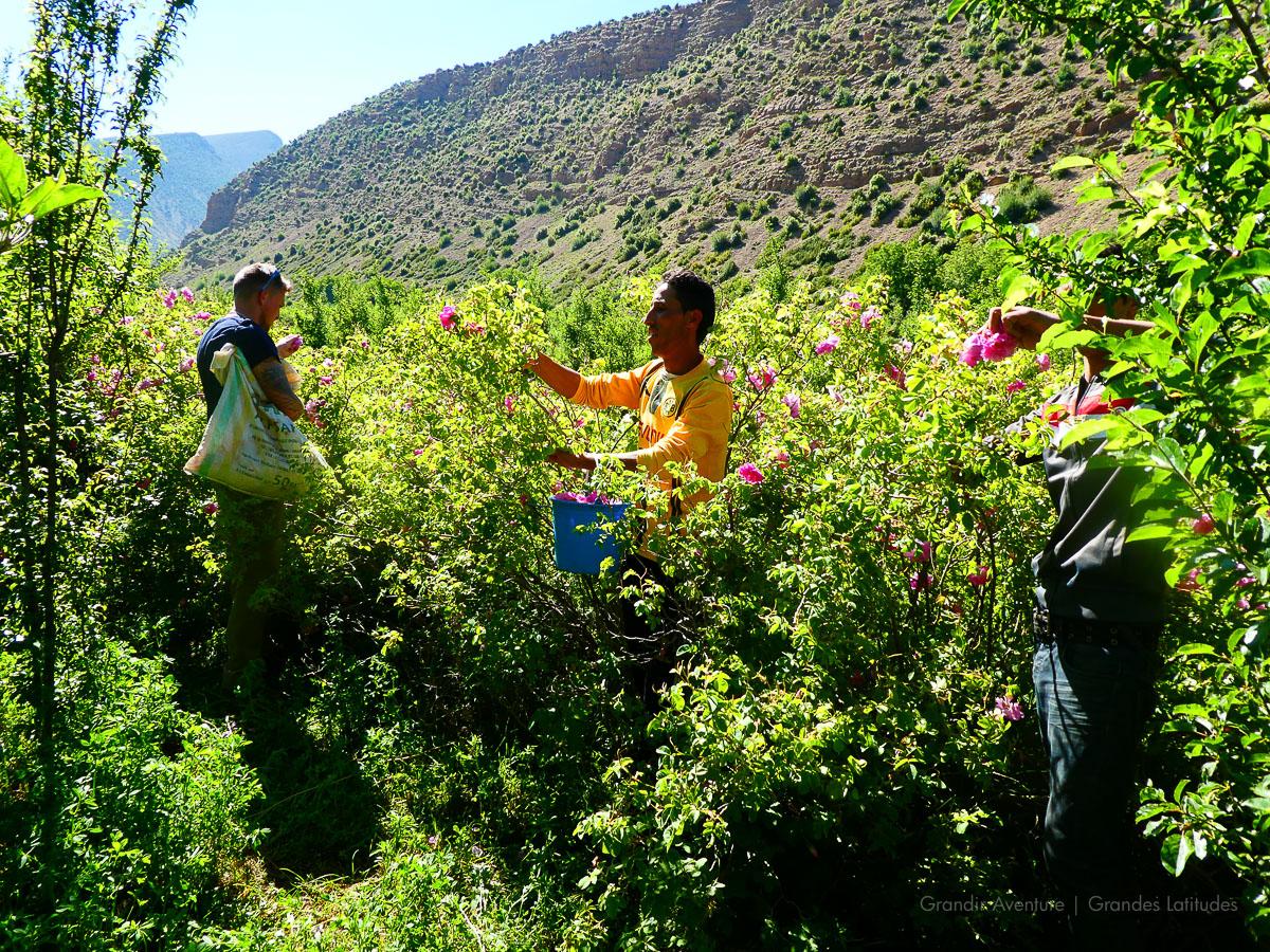 Maroc - R'bat, dans les champs, ramassage de roses