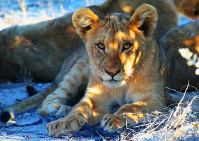 Namibie - lionne
